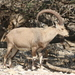 Nubian Ibex - Photo (c) tas47, some rights reserved (CC BY-NC)