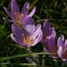 Colchicum autumnale - Photo (c) Thomas Wrbka, algunos derechos reservados (CC BY-NC)