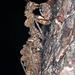 Paraoxypilus tasmaniensis - Photo (c) Simon Grove, algunos derechos reservados (CC BY-NC), uploaded by Simon Grove (TMAG)