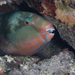 Parrotfishes - Photo (c) Mark Rosenstein, some rights reserved (CC BY-NC-SA)