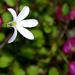 Lobelia angulata - Photo (c) Tony Foster, algunos derechos reservados (CC BY-ND)