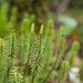 Licopodios Y Selaginelas - Photo (c) mutolisp, algunos derechos reservados (CC BY-NC-SA)