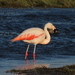 Chilean Flamingo - Photo (c) Nicolás Lavandero, some rights reserved (CC BY)