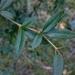 Berberis hayatana - Photo (c) 蘇昱,  זכויות יוצרים חלקיות (CC BY-NC)