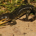 Mexican Tiger Salamander - Photo (c) Alejandro Calzada, some rights reserved (CC BY-NC)