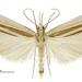 Orocrambus angustipennis - Photo (c) Landcare Research New Zealand Ltd., algunos derechos reservados (CC BY)