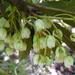Elaeocarpus hookerianus - Photo (c) Murray NZ, osa oikeuksista pidätetään (CC BY), uploaded by Murray Dawson