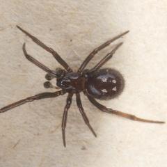 Black Cobweb Spider - Photo (c) Jon Sullivan, some rights reserved (CC BY)