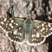 Heliopetes americanus - Photo (c) Nico Rossi, some rights reserved (CC BY-NC)