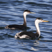 Western and Clark's Grebes - Photo (c) Robin Gwen Agarwal, some rights reserved (CC BY-NC)