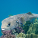 Spotted Porcupinefish - Photo (c) Nikolai Vladimirov, some rights reserved (CC BY-NC)