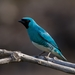 Swallow Tanager - Photo (c) Luciano Bernardes, some rights reserved (CC BY-NC)