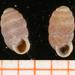 Pupilla muscorum - Photo Francisco Welter Schultes, לא ידועות מגבלות של זכויות יוצרים  (נחלת הכלל)