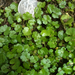 Sibthorp's Pennywort - Photo (c) botanygirl, some rights reserved (CC BY), uploaded by botanygirl