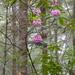 Rhododendron macrophyllum - Photo (c) Scott Catron, algunos derechos reservados (CC BY-SA)