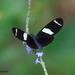 Heliconius sara apseudes - Photo (c) sandralamberts, algunos derechos reservados (CC BY-NC)