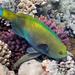 Steephead Parrotfish - Photo (c) Nikolai Vladimirov, some rights reserved (CC BY-NC)