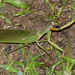 Rhombodera morokana - Photo (c) Benoît Segerer, μερικά δικαιώματα διατηρούνται (CC BY-NC)