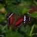 Anartia amathea roeselia - Photo (c) sandralamberts, algunos derechos reservados (CC BY-NC)
