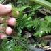 Hymenophyllum sanguinolentum - Photo (c) Jon Sullivan, algunos derechos reservados (CC BY)