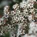 Kunzea robusta - Photo (c) Jon Sullivan, algunos derechos reservados (CC BY)