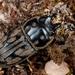 Paralissotes reticulatus - Photo (c) Jon Sullivan, algunos derechos reservados (CC BY)