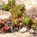 Crassula setulosa - Photo (c) Andrew Hankey, algunos derechos reservados (CC BY-SA)