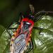 Brontostoma - Photo (c) Felix Fleck, alguns direitos reservados (CC BY-NC)