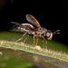 Hermetia formica - Photo (c) Karl Kroeker, alguns direitos reservados (CC BY-NC)