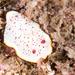 Goniobranchus daphne - Photo (c) John Turnbull, some rights reserved (CC BY-NC-SA), uploaded by Marine Explorer (John Turnbull)