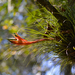 Tillandsia punctulata - Photo (c) Carlos Arturo Marín Medina, some rights reserved (CC BY-NC)