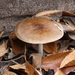 Deer Mushroom - Photo (c) jefferykarafa, some rights reserved (CC BY-NC)
