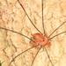 Leiobunum uxorium - Photo (c) Judy Gallagher, algunos derechos reservados (CC BY), uploaded by Judy Gallagher