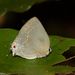Pearly-gray Hairstreak - Photo (c) Arnold Wijker, some rights reserved (CC BY-NC)