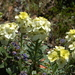 Headland Wallflower - Photo (c) FarOutFlora, some rights reserved (CC BY-NC-ND)