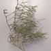 Grevillea angustiloba wirregaensis - Photo (c) hmer, algunos derechos reservados (CC BY-NC)