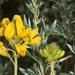 Adenocarpus hispanicus - Photo (c) Felix Riegel, some rights reserved (CC BY-NC)