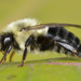 Common Eastern Bumble Bee - Photo (c) Ryan Hodnett, some rights reserved (CC BY-SA)