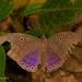 Eurybia - Photo (c) sandralamberts, algunos derechos reservados (CC BY-NC)