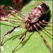 Dicranopalpus - Photo (c) Howard, μερικά δικαιώματα διατηρούνται (CC BY-NC-ND)
