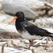 South Island × Variable Oystercatcher Hybrid - Photo (c) Ben, some rights reserved (CC BY-ND)