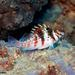 Dwarf Hawkfish - Photo (c) ianbanks, some rights reserved (CC BY-NC), uploaded by Ian Banks