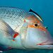 Lethrinus - Photo (c) ianbanks, some rights reserved (CC BY-NC), uploaded by Ian Banks