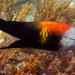 Slingjaw Wrasse - Photo (c) ianbanks, some rights reserved (CC BY-NC), uploaded by Ian Banks