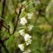 Leucopogon fasciculatus - Photo (c) Murray NZ, algunos derechos reservados (CC BY), uploaded by Murray Dawson