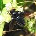 Xylocopa mexicanorum - Photo (c) Francisco Farriols Sarabia, μερικά δικαιώματα διατηρούνται (CC BY)