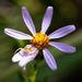Flax-leaved Aster - Photo (c) Greg Funka, some rights reserved (CC BY-NC)