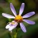 Ionactis linariifolia - Photo (c) Greg Funka, algunos derechos reservados (CC BY-NC)