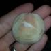 Melaxinaea vitrea - Photo (c) Nick Lambert, osa oikeuksista pidätetään (CC BY-NC-SA)
