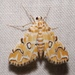 Elophila icciusalis - Photo (c) Laura Gaudette,  זכויות יוצרים חלקיות (CC BY)